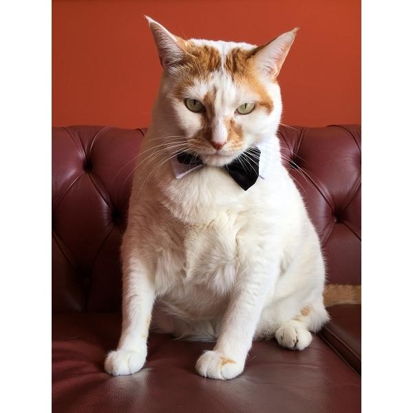 D guisement pour chat noeud papillon pour chat oh pacha - Noeud papillon chat ...