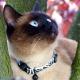 Collier pour chat zèbre