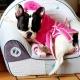 Peignoir de bain pour chien Miss Glamour