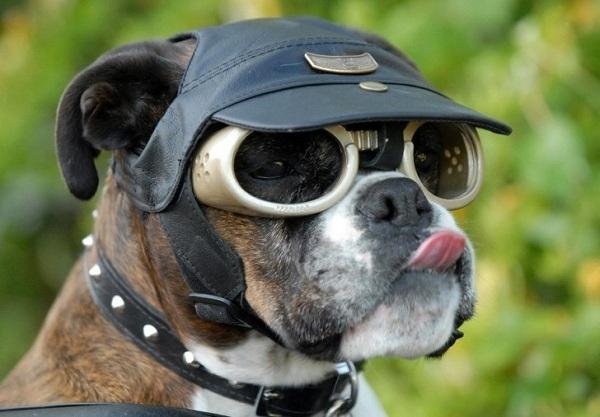 Les dangers du soleil pour les yeux du chien