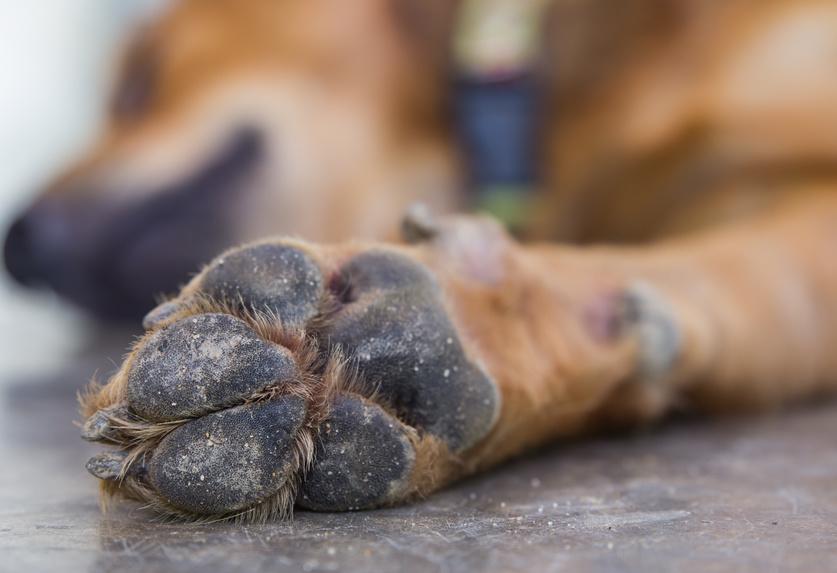Les problèmes de coussinets chez le chien