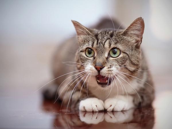 Les problèmes de griffes chez le chat