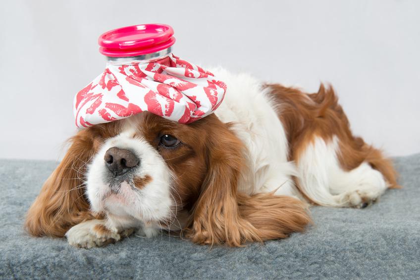 Une assurance santé pour mon chien