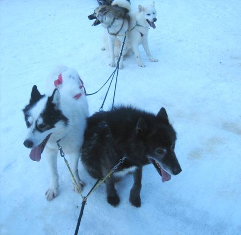 Les chiens de traineaux
