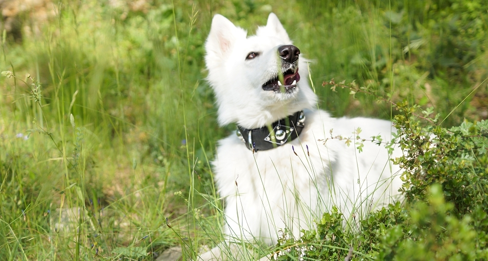 Collier pour gros chien Metallica - Oh ! Pacha